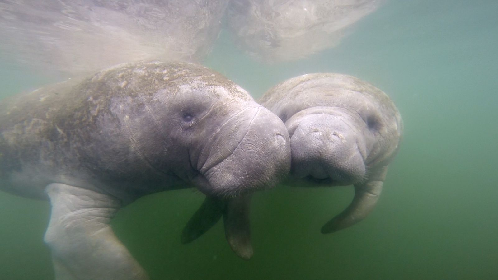Florida has seen an alarming rise in manatee deaths in 2021.